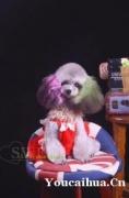 杭州火龙果宠物美容培训中心、日系泰迪一对一教学